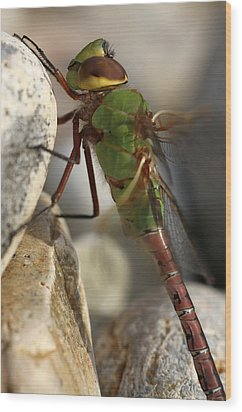 Common Green Darner Dragonfly Wood Print by Juergen Roth