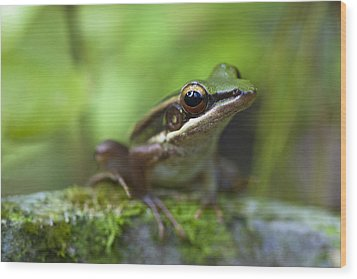 Common Greenback Frog II Wood Print
