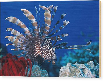 Common Lionfish Wood Print by Franco Banfi and Photo Researchers