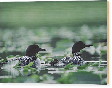 Common Loon Gavia Immer Mated Couple Wood Print by Michael Quinton