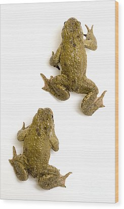 Common Toad Wood Print by Mark Bowler and Photo Researchers