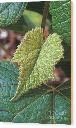 Concord Grape Plant Wood Print by Science Source