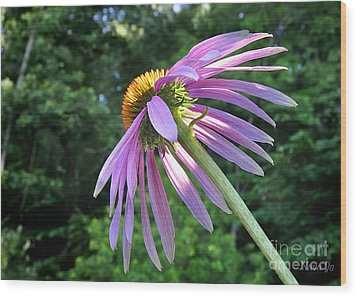 Wood Print featuring the photograph Cone Flower Sunrise by Nava Thompson