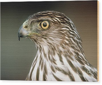 Wood Print featuring the photograph Cooper's Hawk by Doug Herr
