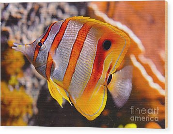 Copperband Butterfly Fish Wood Print by Pravine Chester