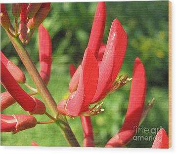 Coral Bean Tree Wood Print