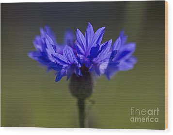 Wood Print featuring the photograph Cornflower Blue by Clare Bambers