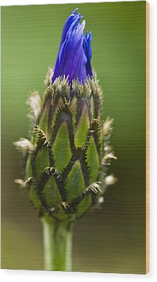 Wood Print featuring the photograph Cornflower Bud by Rob Hemphill