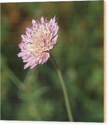 Cornflower Cyanus Segatum Wood Print by Paul Cowan