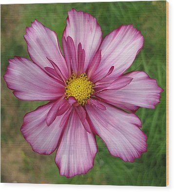 Wood Print featuring the photograph Cosmic Cosmo by Judy Via-Wolff