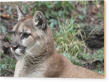 Cougar - 0006 Wood Print by S and S Photo