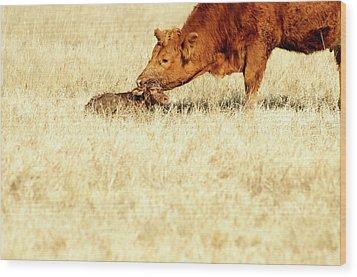 Cow Smelling Newborn Calf Wood Print by ©Debbie Prediger Photography