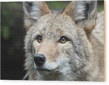 Coyote - 0031 Wood Print by S and S Photo