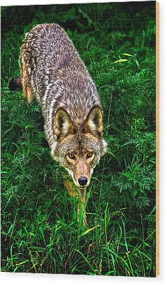 Coyote Wood Print by Andre Faubert