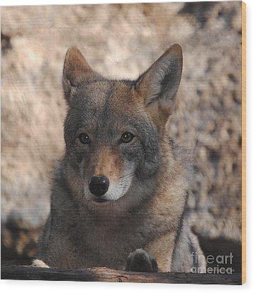 Coyote Beautiful Wood Print by DiDi Higginbotham