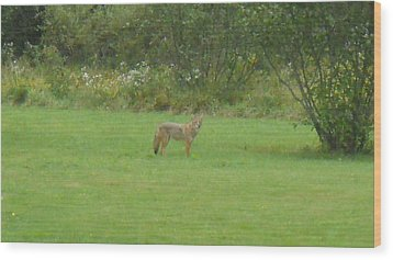 Coyote In The Yard  Wood Print by Jeffrey Benedict