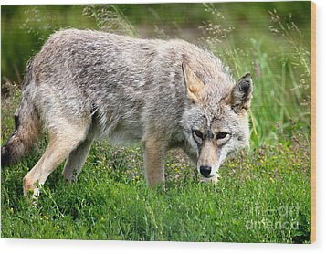 Wood Print featuring the photograph Coyote On The Prowl by Kathy  White