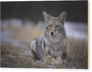 Coyote Resting In Winter Grass, Snowing Wood Print by Leanna Rathkelly