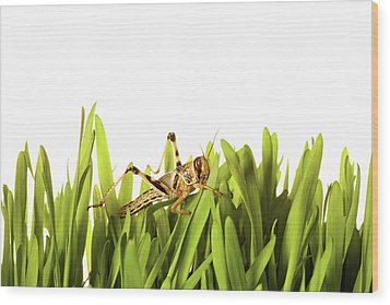 Cricket In Wheat Grass Wood Print by Pascal Preti