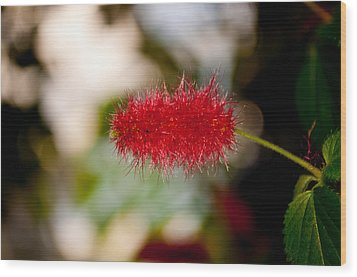 Crimson Bottle Brush Wood Print by Tikvah's Hope