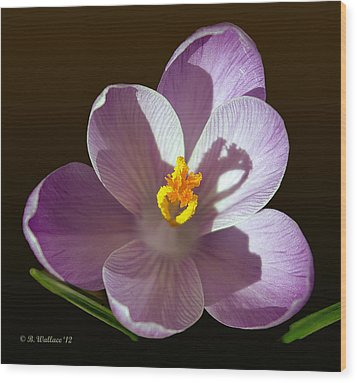 Crocus In Full Bloom Wood Print by Brian Wallace