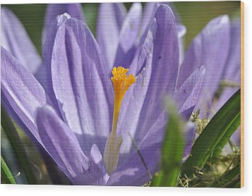 Wood Print featuring the photograph Crocus by Rob Hemphill