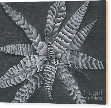 Cryptanthus Absolute Zero Wood Print by Penrith Goff