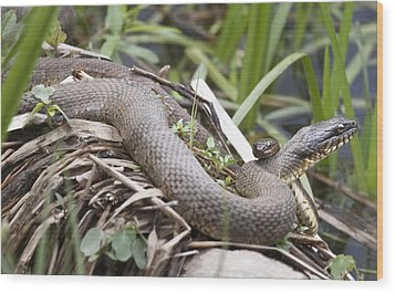 Wood Print featuring the photograph Cuddling Snakes by Jeannette Hunt