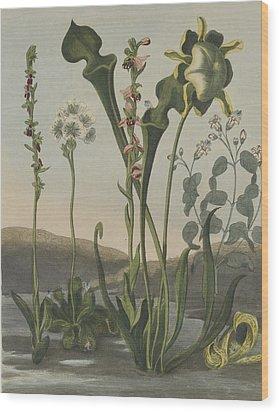 Curious American Bog Plants Wood Print by Robert John Thornton