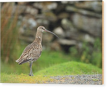 Curlew  Wood Print by Clare Scott