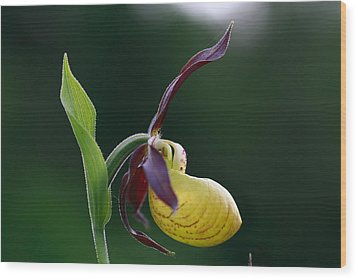 Cypripedium Calceolus Wood Print by Octavian Chende
