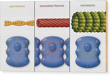 Cytoskeleton Components, Diagram Wood Print by Art For Science