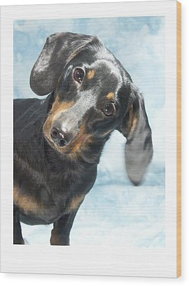 Dachshund 441 Wood Print by Larry Matthews