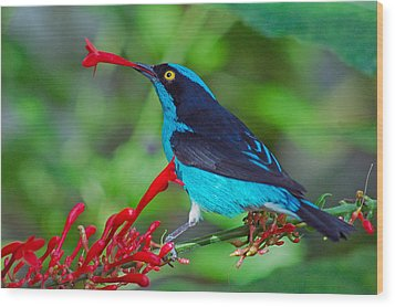 Dacnis Lineata Wood Print