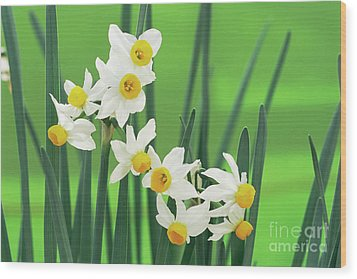 Daffodils (narcissus Canaliculatus) Wood Print by Archie Young