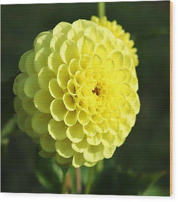 Dahlia In Yellow Wood Print by Cathie Tyler