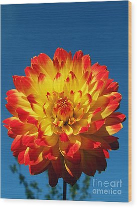 Dahlia 'procyon' Wood Print by Ian Gowland and Photo Researchers