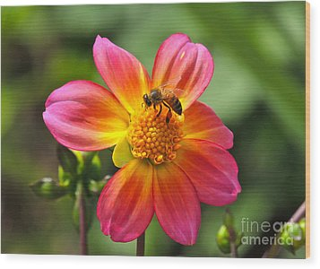 Wood Print featuring the photograph Dahlia Sun by Eve Spring