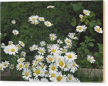 Daisies Wood Print by Vicky Tarcau