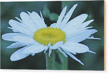 Daisy After The Rain Wood Print by Becky Lodes