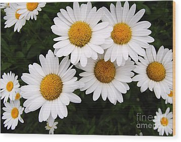 Daisy Blossoms Wood Print