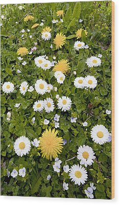Daisy, Dandelions And Slender Speedwell Wood Print by Bob Gibbons