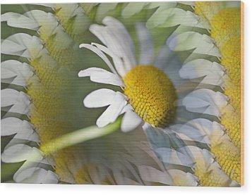 Daisy Delight Wood Print by Cheryl Cencich
