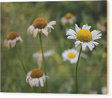 Wood Print featuring the photograph Daisy Maisy by Kathleen Holley