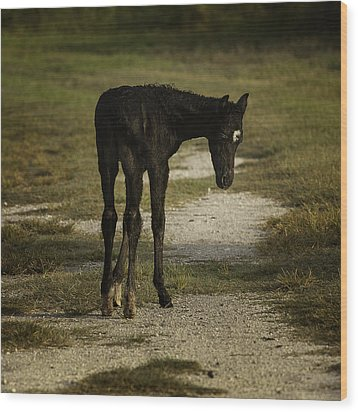 Damp Cracker Foal Wood Print by Lynn Palmer