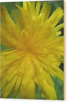 Dandelion Close Up Wood Print by Kym Backland