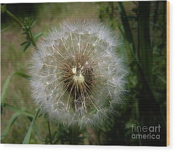 Wood Print featuring the photograph Dandelion Going To Seed by Sherman Perry