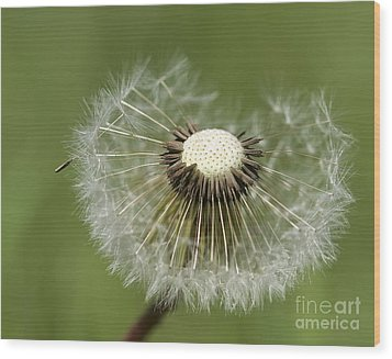 Dandelion Half Gone Wood Print