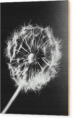 Dandelion Seed Head (taraxacum Officinale), Close-up (b&w) Wood Print by Christian Adams