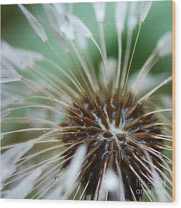 Dandelion Tears Wood Print by Paul Ward